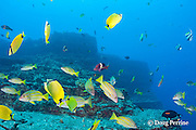 endemic milletseed butterflyfish, Chaetodon miliaris, longfin bannerfish, Heniochus diphreutes, bluestripe snapper or ta'ape, Lutjanus kasmira, manybar goatfish or moano, Parupeneus multifasciatus, and other reef fish at Vertical Awareness dive site, Lehua Rock, off Niihau, Hawaii ( Central Pacific Ocean )