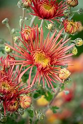 Chrysanthemum 'Spider Bronze'
