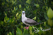 An adult Red-footed booby perches in mangrove trees on Genovesa island, part of the Galapagos archipelago of Ecuador.