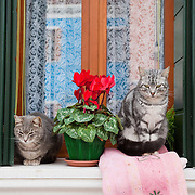 VENICE, ITALY - AUGUST 27: Two cats sit on a windowsill in the colourful of  Burano on August 27, 2011 in Venice, Italy. Dingo is the Anglo-Venetian association part of the AISPA,  founded in 1965 by Helen Saunders and Elena Scapabolla and is devoted to the welfare of venetian stray cats. Cats in Venice
