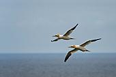 Other Gulls, Terns & Skimmers