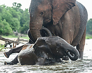 Female elephant plays with her baby and a young elephant in the water at the edge of the Chobe River, © 2019 David A. Ponton