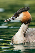 A beautiful portrait of a Australasian Crested Grebe, with green foliage reflecting onto the surface of Lake Wanaka, New Zealand.