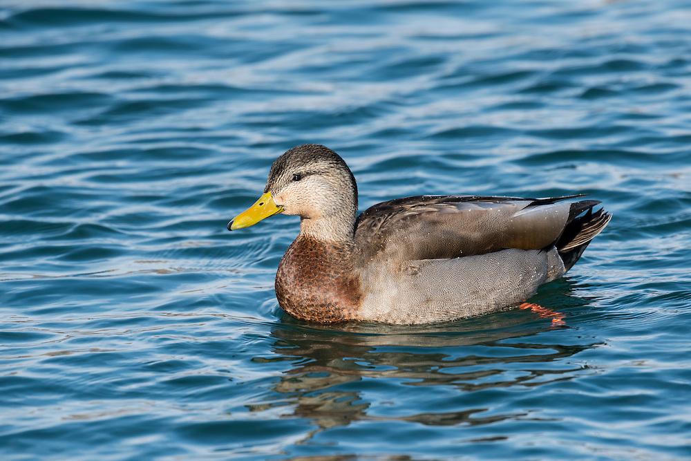 American Black Duck x Mallard hybrid, Anas rubripes, x platyrhynchos, male, Detroit River, Ontario