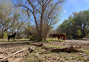 Horses water near a canopy of trees in a riparian area along the Anza Trail and the Santa Cruz River, Tubac, Arizona, USA. The Santa Cruz River is partially fed with reclaimed water.