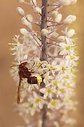 Wasp on a Sea Squill, (Drimia maritima) Israel, autumn September