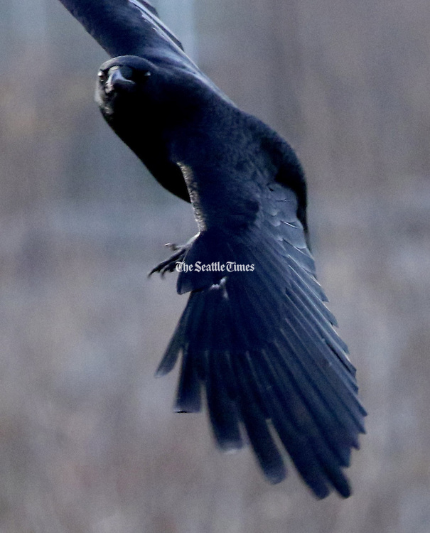 On the wing, a crow cruises over the Union Bay Natural Area, a popular birding area behind the Center for Urban Horticulture. The American crow has an almost iridescent look and should not be confused with the larger raven. Crows are known for their smarts. (Alan Berner/The Seattle Times)