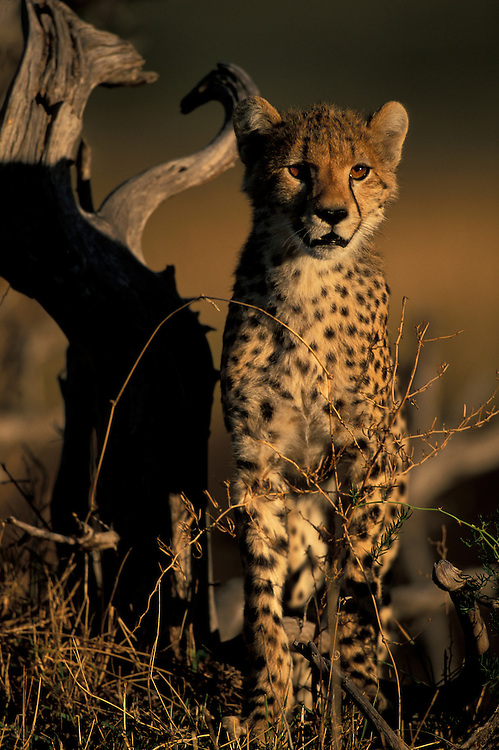 Africa, Kenya, Masai Mara Game Reserve, Cheetah cub (Acinonyx jubatas) rests in short grass on savanna at sunrise