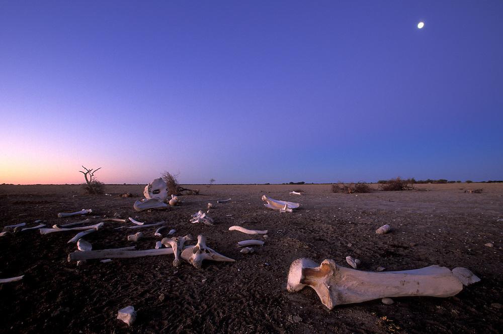 Botswana, Nxai Pan National Park, Moon rises above Elephant bones (Loxodonta africana) in Kalahari Desert at dusk
