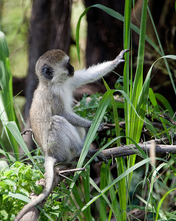 I couldn't have captured this any better if I had tried! I didn't see it at the time but I caught this monkey touching the blade of grass just as it bent. What a find! The power of touch.