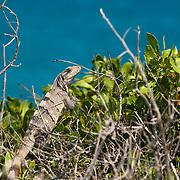 Gray Iguana. Isla Mujeres, Quintana Roo, Mexico.