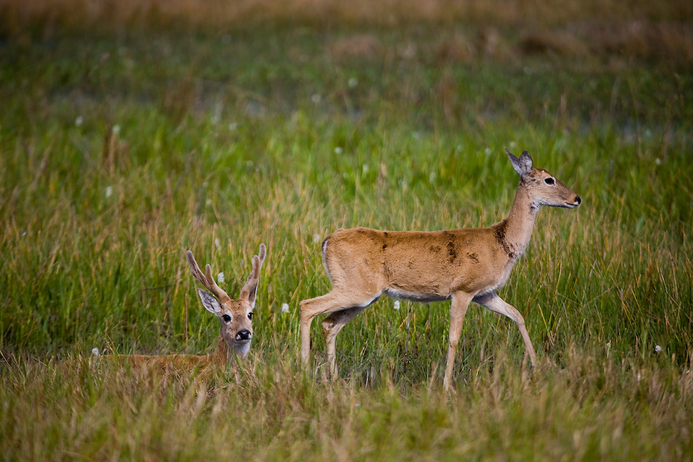 Aquidauana_MS, Brasil...Veado macho e femea na fazenda Rio Negro no Pantanal...The male and female deer in the Rio Negro farm in Pantana..Foto: JOAO MARCOS ROSA / NITRO