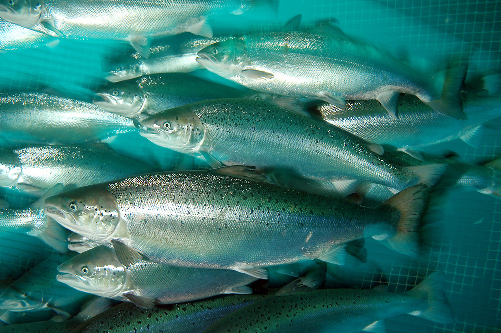 Farmed Atlantic Salmon (Salmo salar). Location: Norway