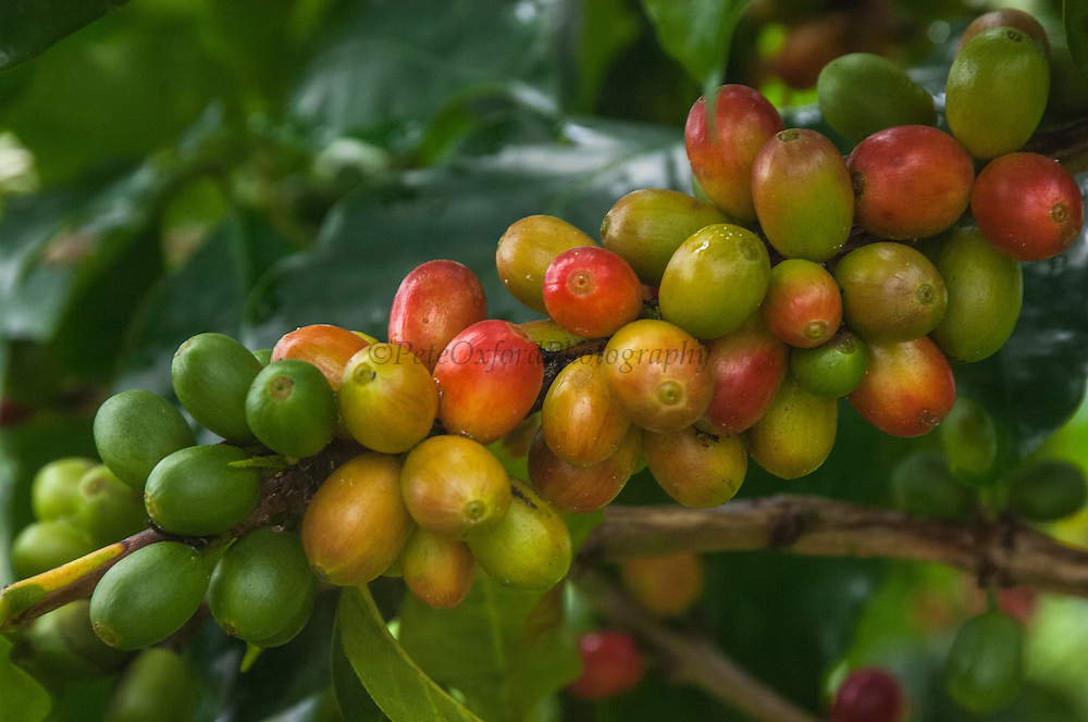 Galapagos Coffee. Shade grown under endemic Scalesia pedunulata trees for export.<br /> Highlands of Santa Cruz Island, GALAPAGOS ISLANDS<br /> ECUADOR.  South America