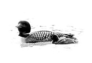 Great Northern Diver (Common Loon) - Gavia immer - in summer plumage with chick