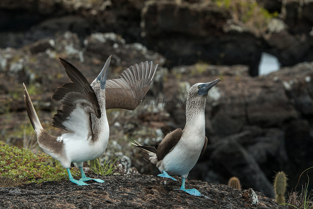 Blue-footed Booby (Sula nebouxii excisa)<br /> Los Tuneles<br /> Lava tunnels<br /> Isabela Island, <br /> GALAPAGOS,  Ecuador, South America<br /> endemic subspecies