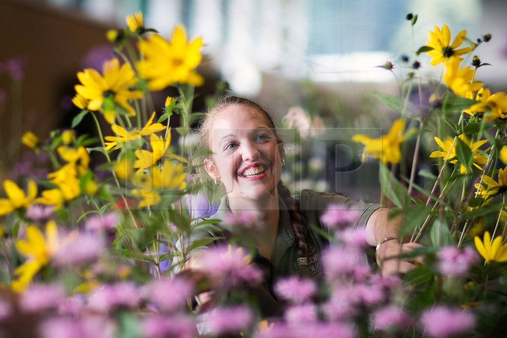 © Licensed to London News Pictures. 15/09/2016. Harrogate UK. Megan Sunley puts the finishing touches to her exhibition at this years Harrogate Flower show that starts tomorrow. Photo credit: Andrew McCaren/LNP