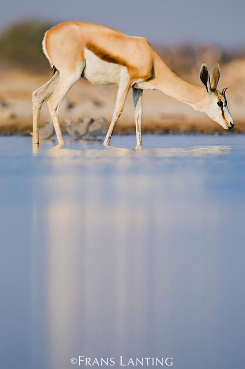 Springbok drinking at waterhole, Antidorcas marsupialis, Etosha National Park, Namibia