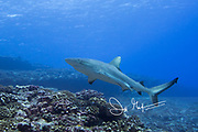 A Grey reef shark swims over a coral reef in the South Pacific.
