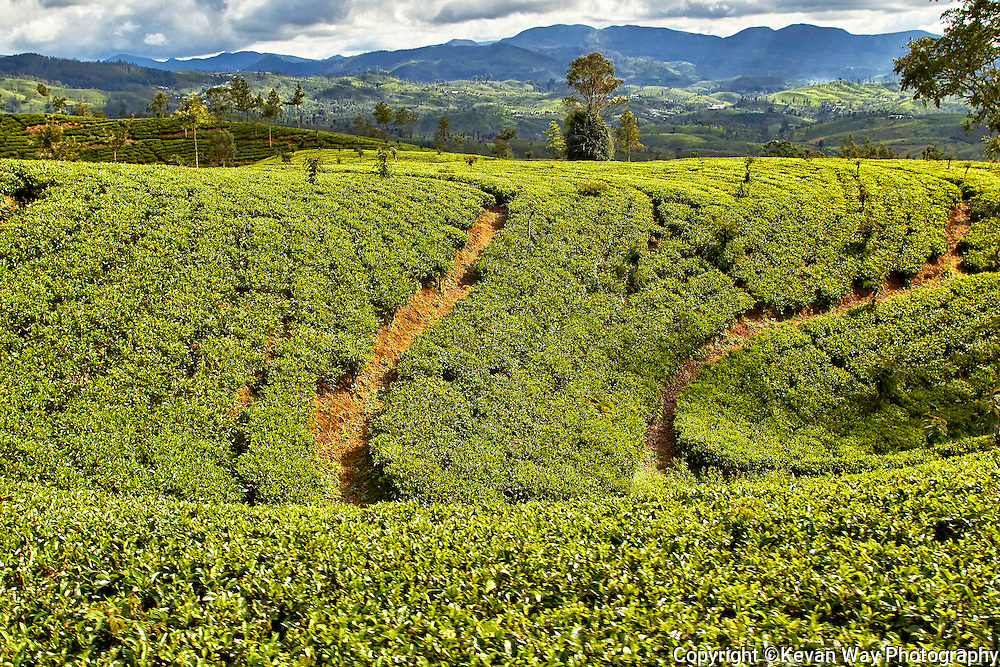 tea plantations Hill Country Sri Lanka