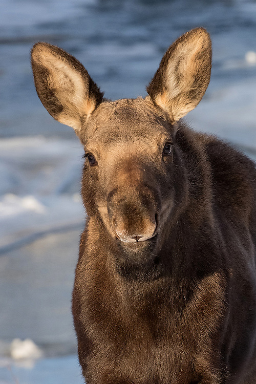 Curious and intelligent, this orphaned moose calf must depend on his wits to survive the long Wyoming winter.  After seeing his bright eyes staring back at me, I know that I will be routing for him.