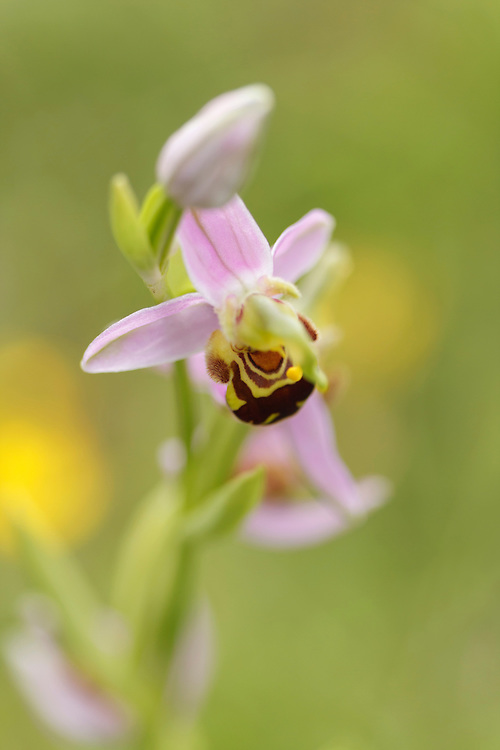 Bee Orchid close up, soft focus