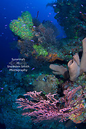 Grand Cayman - Gorgeous, colourful corals and sponges grow off the pinnacle that is Ghost Mountain dive site.  I was diving with Lobster Pot Dive Center.