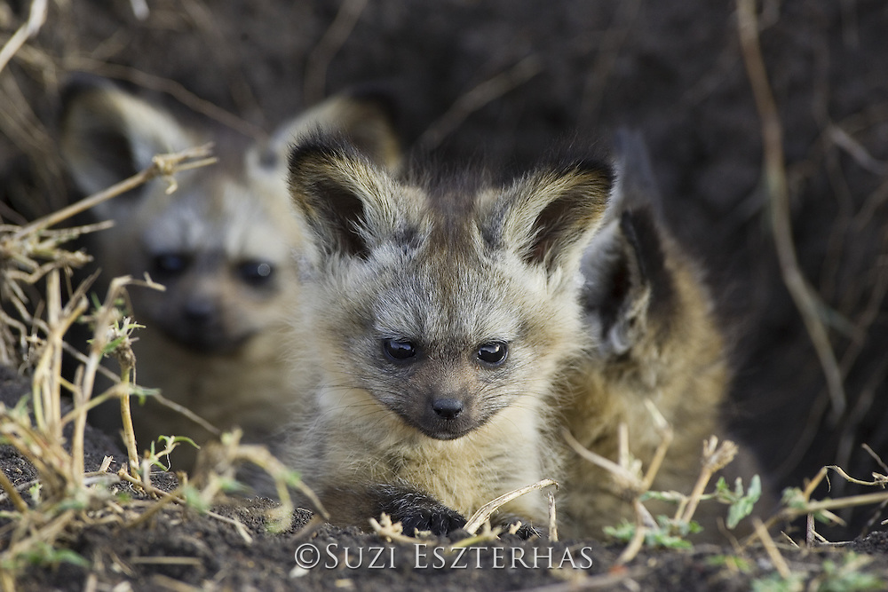 Bat-eared fox<br /> Otocyon megalotis<br /> 6 week old pup(s)<br /> Masai Mara Conservancy, Kenya