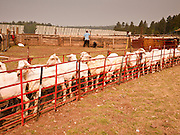 "05 JUNE 2011 - GREER, AZ: Freshly shorn sheep wait to be inoculated and branded Sunday. Mark Pedersen (CQ), of Sheep Springs Sheep Co, said they drove about 2,000 sheep from Chandler up to their summer pastures near Greer. They were supposed to start shearing on Friday, but didn't start till Friday because of the Wallow Fire. They also run cattle on land southeast of the sheep pasture, closer to Greer. Pedersen said they were prepared to move both the cattle and the sheep if they had to. He said the biggest problem with the smoke was that it bothered the sheeps' lungs much the same way it bother people's lungs. The fire grew to more than 180,000 acres by Sunday with zero containment. A ""Type I"" incident command team has taken command of the fire.   PHOTO BY JACK KURTZ"