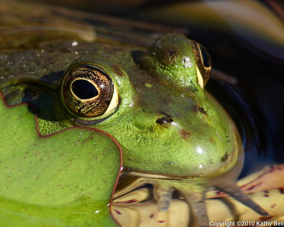 Image of bullfrog