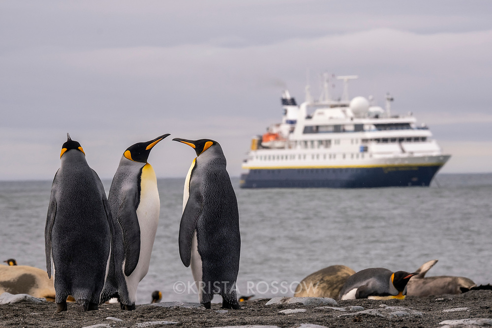King penguins walk along the shoreline in a massive breeding colony at Gold Harbour on South Georgia Island. The National Geographic Orion ship is anchored in the harbor.