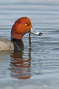 Stock photo of Redhead captured in Colorado.  Redheads are medium-sized diving ducks.  They feed on aquatic plants, insects and small fish.