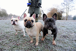© Licensed to London News Pictures. 06/01/2017<br /> French Bulldogs out for a cold walk.<br /> Cold freezing conditions this morning at Footscray Meadows in Sidcup,Kent.<br /> A YELLOW cold weather warning has been issued for Kent and the South East by the Met Office.<br /> Photo credit :Grant Falvey/LNP