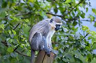 Vervet monkey-Singe vervet (Chlorocebus), Kwazulu-Natal, South Africa.
