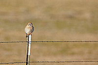 A female American kestrel perches on a fence pole fluffed up absorbing the morning sun.