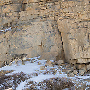Snow Leopard Photographed in Spiti Valley, India.