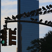 Pigeons near Central Park with Time Warner Center towers in background, Manhattan, New York, NY