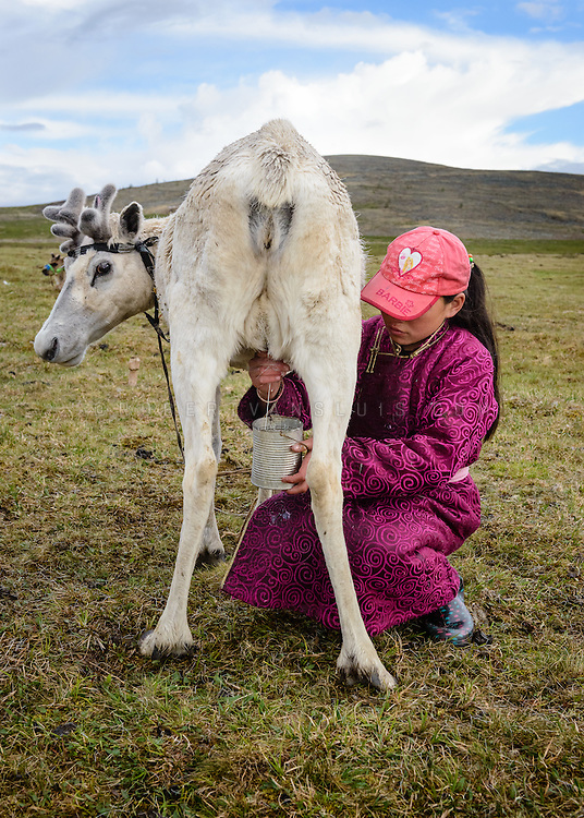 A Dukha (Tsaatan) girl milking reindeer. One reindeer yields approximately one cup of milk per day, used for cheese making and milk consumption. Approximately 200 families comprise the Tsaatan or Dukha community in northwestern Mongolia, whose existence is intimately linked to their herds of reindeer. Photo © Robert van Sluis