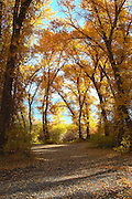 Idaho.  Tunnel of cottonwoods in fall colors along Big Lost River.