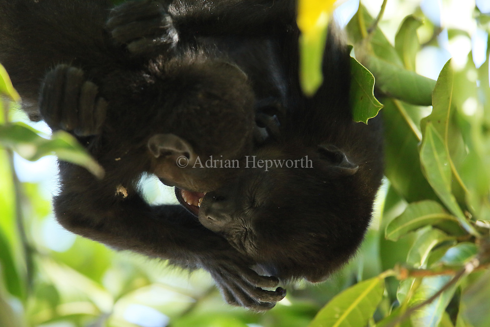 Mantled howler monkeys (Alouatta palliata) playing. Tropical dry forest. Palo Verde National Park, Guanacaste, Costa Rica.
