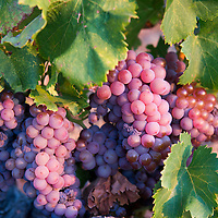 Grapes ready for the harvest on the Vermilion Coast of southern France.