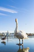 A swan on Tjornin, Reykjavik
