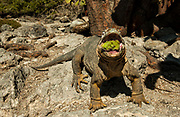 Land Iguana eating opuntia cactus fruit<br /> Conolophus subcristatus<br /> South Plaza Island<br /> Galapagos Islands, ECUADOR.  South America