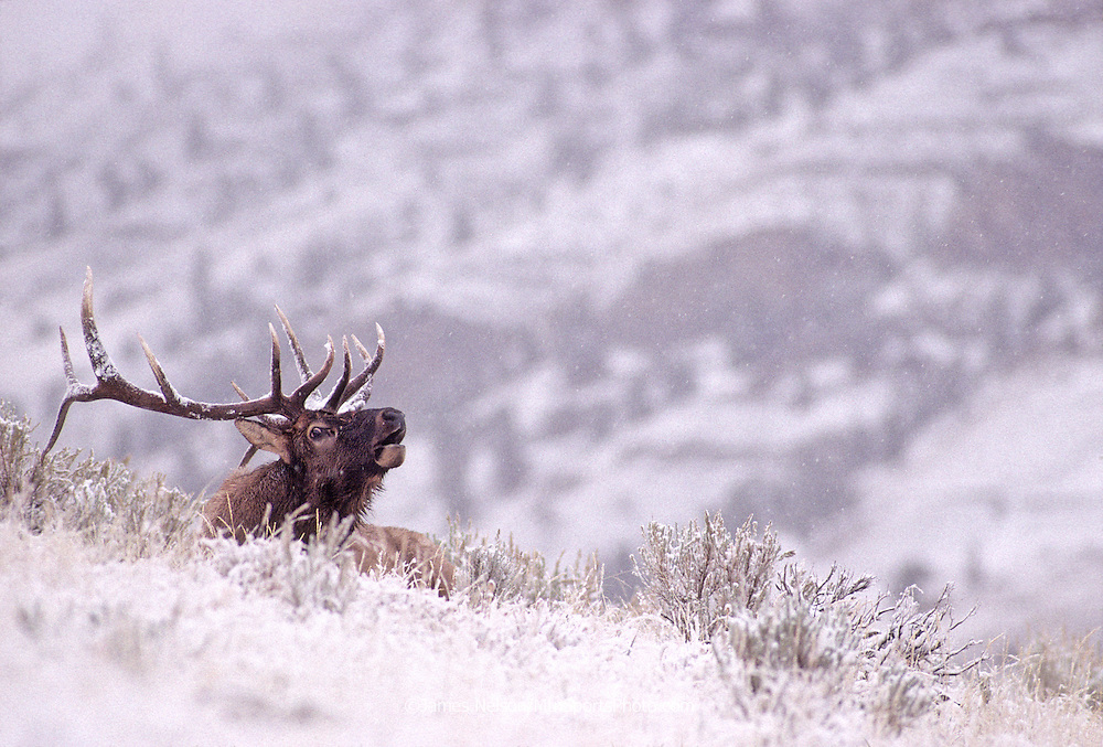 11-578. A bull elk bugles while bedded down during a snowstorm in Yellowstone National Park.