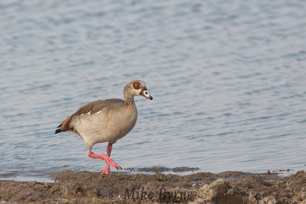 Egyptian goose in Etosha National Park, Namibia.