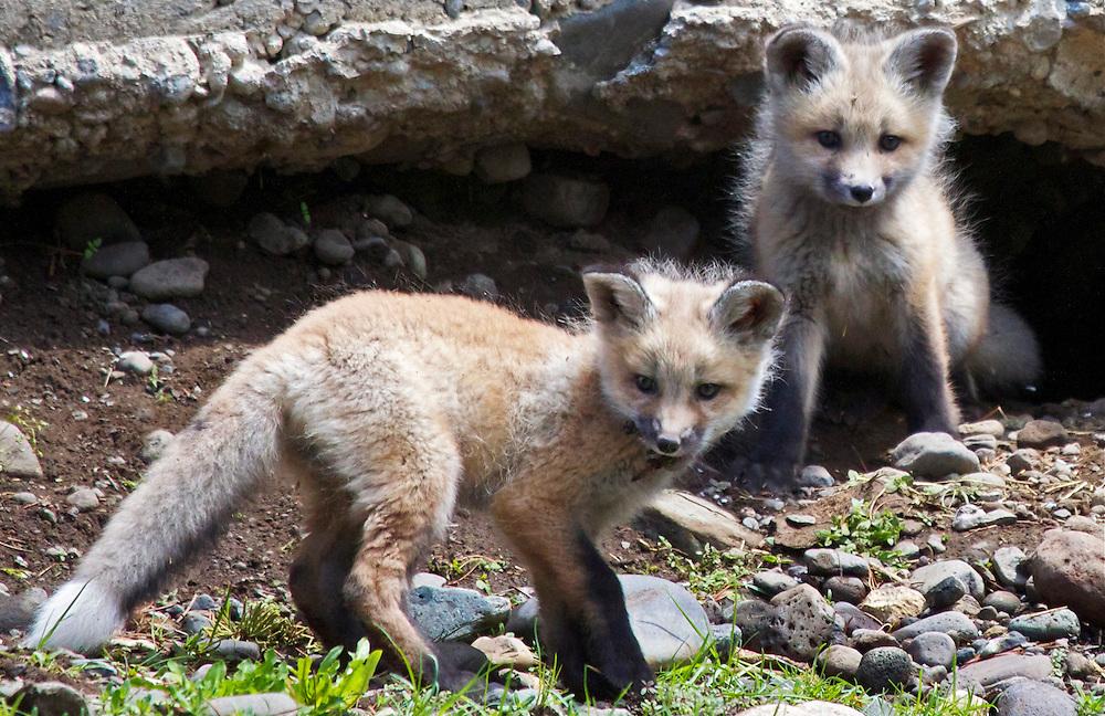 Fox Kitts