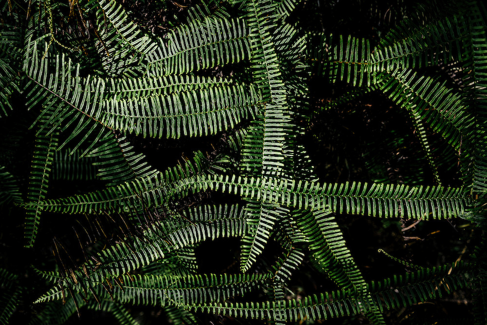 Ferns line the floor of the pine forrest in Eastern Cuba on Jan. 27, 2016.
