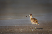 Whimbrel in Pismo Beach, California