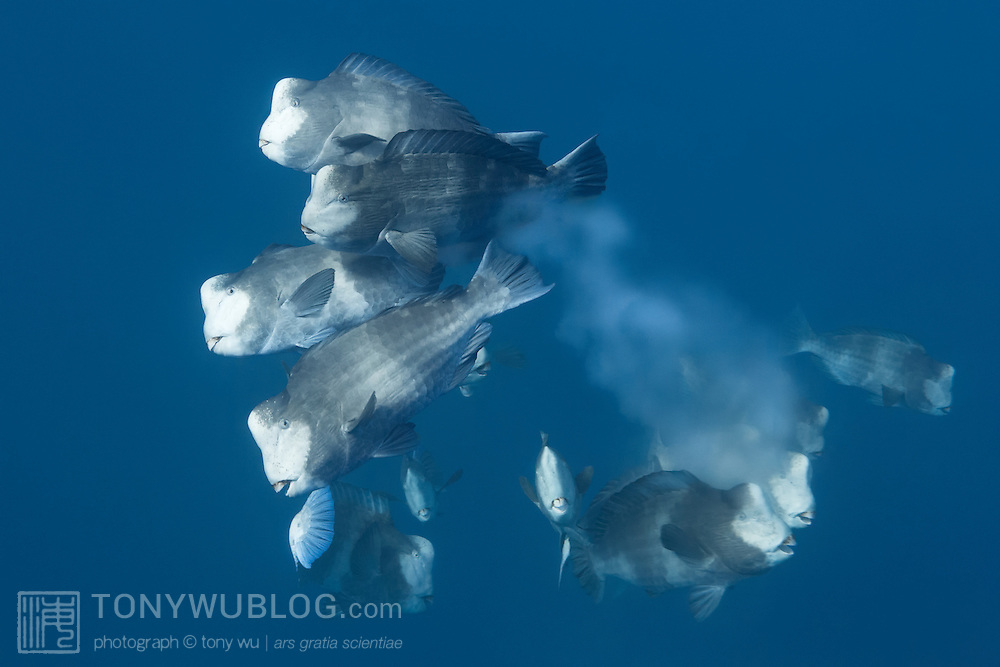Group of humphead parrotfish (Bolbometopon muricatum) spawning in the early morning. This group was part of a mass aggregation comprising thousands of fish. Photographed in Palau.