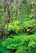 Tree Fern Forest, Hawaii Volcanoes National Park, The Big Island, Hawaii